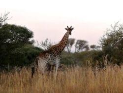 ditholo-game-lodge-giraffe